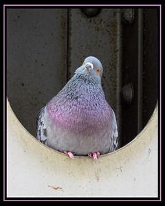 Maker:  Sandra J Nantais Title:  Perplexed Purple Pigeon Category:  Pictorial Score: 11