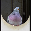 Maker:  Sandra J Nantais<br /> Title:  Perplexed Purple Pigeon<br /> Category:  Pictorial<br /> Score: 11