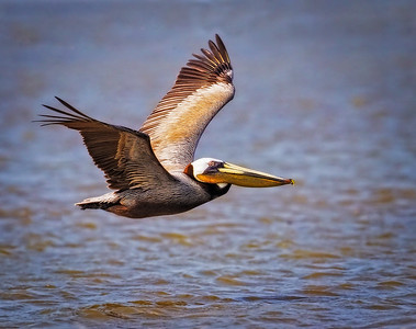 Maker:  Wayne Tabor Title:  Brown Pelican in Flight Category:  Wildlife Score:  13