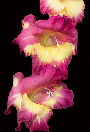 Maker:  Ronald Austin<br /> Title:  Gladiolus<br /> Category:  Macro/Close Up<br /> Score:  11