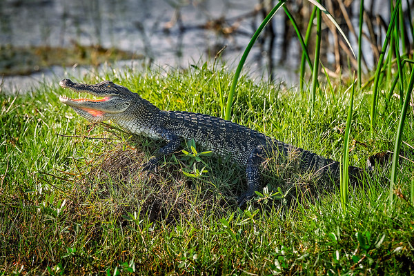 Maker:  Wayne Tabor<br /> Title:  Sunning Gator<br /> Category:  Wildlife<br /> Score:  11