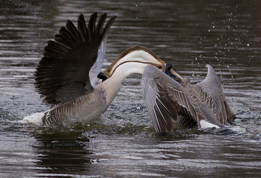 Maker:  Ronald Austin<br /> Title:  Swan Geese<br /> Category:  Wildlife<br /> Score:  12