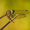 Maker:  Dale Lindenberg<br /> Title:  Dragon Fly<br /> Category:  Macro/Close Up<br /> Score:  12