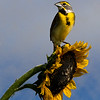 Maker:  Dirk J. Sanderson<br /> Title:  Dickcissel on Sunflower<br /> Category: Wildlife<br /> Score:  13