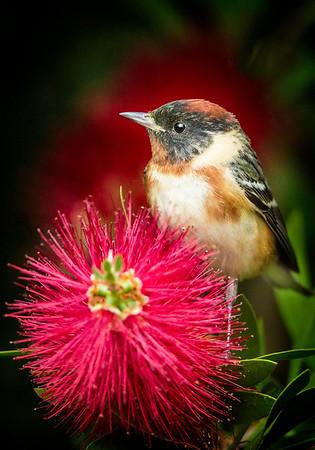 Maker: Wayne Tabor<br /> Title: Bay-breasted Warbler<br /> Category:  Wildlife<br /> Score:  13