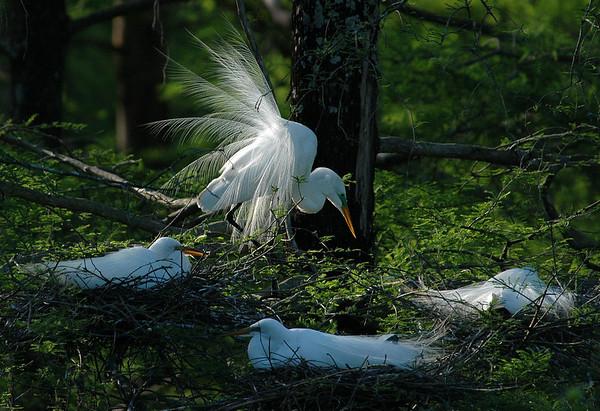 Egrets At Sunrise<br /> Nature - <br /> Score 12<br /> Reese Hood  , 2008