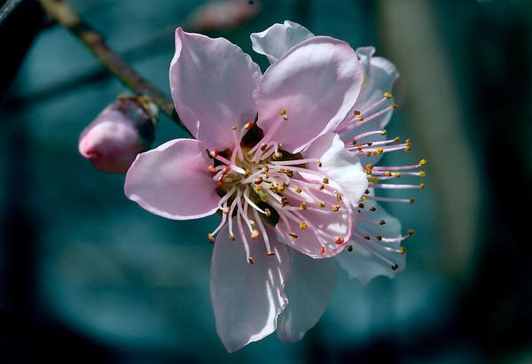 Peach Blossum<br /> Open-Color - Score 11<br /> Reese Hood  , 2008