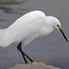 Snowy Egret - Nature<br /> Score 13<br /> Dwayne Anders  , 2008