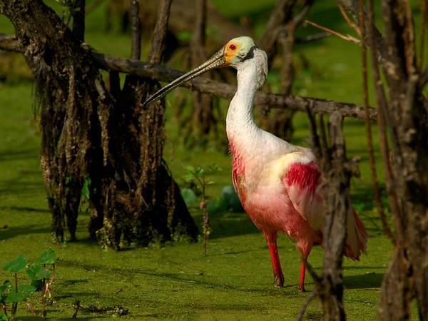 Swamp Spoonbill - Nature<br /> Score 12<br /> Dwayne Anders  , 2008