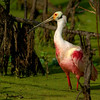 Swamp Spoonbill - Nature<br /> Score 12<br /> Dwayne Anders  , 2008