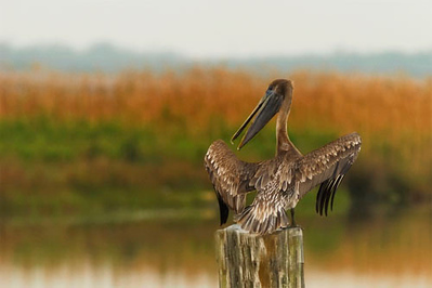 Brown Pelican<br /> Nature-14<br /> Loleta Holley  , 2008