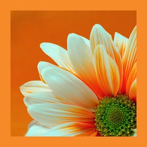 Sunshine Daisy Open Color - 11 Marilyn Hammett  , 2008
