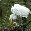 Mother & Baby Egrets<br /> Nature - Score 12<br /> Reese Hood  , 2008