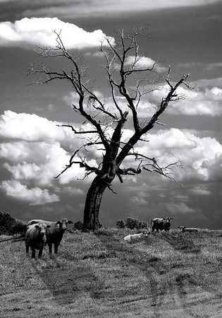 Pasture Scene<br /> By: Wilfred Smith<br /> Catagory: Small Black & White<br /> Score: 13  , 2008