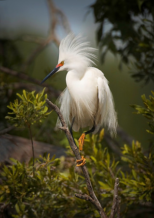 Title:    Snowy Egret Jefferson Island<br /> Catagory: Nature<br /> Score:    12<br /> Maker:    Wilfred Smith  , 2008