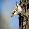 """""""Brown headed nuthatch"""" by Eric Sorensen,<br /> Nature catagory,<br /> Score: 11  , 2008"""