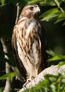 Title:        Immature Cooper Hawk Catagory:     Nature Score:        12 Maker:        Wayne Tabor  , 2008