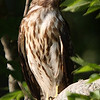 Title:        Immature Cooper Hawk<br /> Catagory:     Nature<br /> Score:        12<br /> Maker:        Wayne Tabor  , 2008