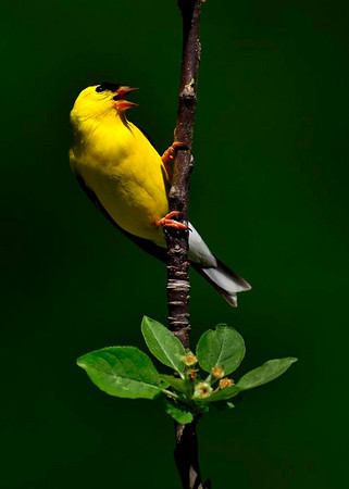 Singing Goldfinch - Open Color<br /> Score 14<br /> Dwayne Anders  , 2008