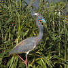 Tri-Colored Heron<br /> By Wilfred Smith<br /> Catagory: Nature<br /> Score:  14  , 2008