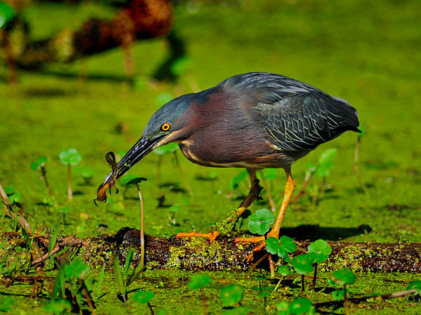 Green Heron with Salamander - Nature<br /> Score 14<br /> Dwayne Anders  , 2008