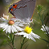Title:       Grey Hairstreak<br /> Catagory:    Nature<br /> Score:       11<br /> Maker:       Wayne Tabor  , 2008
