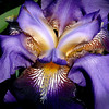 Iris <br /> Open Color<br /> Score 12<br /> Reese Hood  , 2008