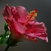Pink Hibiscus<br /> Open Color - 11<br /> Marilyn Hammett  , 2008