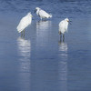 Three Egrets Fishing<br /> Nature-12<br /> Loleta Holley  , 2008