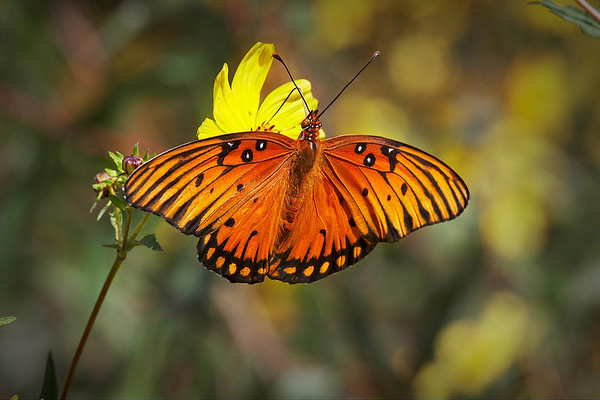 Title:            Gulf Fritillary <br /> Catagory:         Nature<br /> Score:            12<br /> Maker:            Wayne Tabor  , 2008