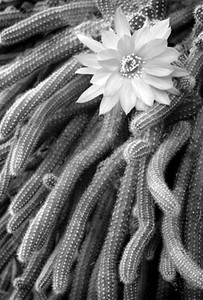 Cactus Flower Monochrome-12 Loleta Holley  , 2008