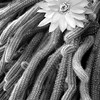 Cactus Flower<br /> Monochrome-12<br /> Loleta Holley  , 2008