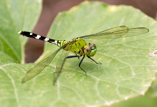 Dragon Fly<br /> Nature - Score 11<br /> Reese Hood  , 2008