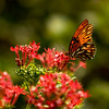 """""""Butterfly #963""""<br /> By Shawn Sicilia<br /> Category: Small Color<br /> Score: 13  , 2008"""