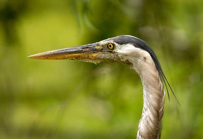 Blue Heron Nature - Score 12 Reese Hood  , 2008