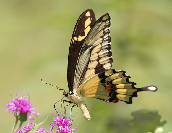 Title:        Swallowtail on Thistle<br /> Catagory:     Nature<br /> Score:        12<br /> Maker:        Wayne Tabor  , 2008