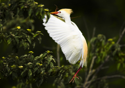 Cattle Egret nest building By. Wilfred Smith Catagory: Nature Score  13  , 2008