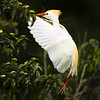 Cattle Egret nest building<br /> By. Wilfred Smith<br /> Catagory: Nature<br /> Score  13  , 2008