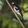 Maker:  Dirk J. Sanderson<br /> Title:  Red Breasted Grosbeak<br /> Category:  Wildlife<br /> Score:  11