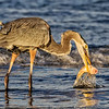 Maker:  Dale Lindenberg<br /> Title:  Heron with Fish<br /> Category:  Wildlife<br /> Score:  11