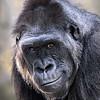 Maker:  Dwayne Anders<br /> Title:  Gorilla Head Shot<br /> Category:  Pictorial<br /> Score:  15