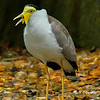 Maker:  Ronald Austin<br /> Title:  Masked Lapwing<br /> Category:  Pictorial<br /> Score:  12