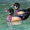 Maker:  Dale Lindenberg<br /> Title:  Wood Ducks<br /> Category:  Wildlife<br /> Score:  13
