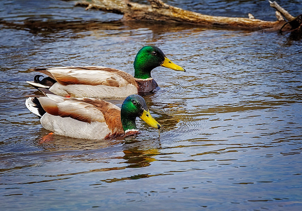 Maker:  Wayne Tabor<br /> Title:  Greenheads<br /> Category:  Wildlife<br /> Score:  11