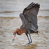 Maker:  Dale Lindenberg<br /> Title:  Reddish Egret<br /> Category:  Wildlife<br /> Score:  13