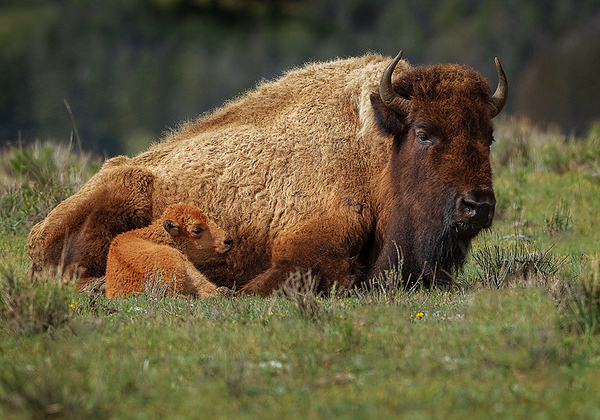 Maker:  Wayne Tabor<br /> Title:  Cow and Calf<br /> Category:  Wildlife<br /> Score:  13.5