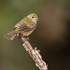 Maker:  Ricky Scroggins<br /> Title:  Female Painted Bunting<br /> Category:  Wildlife<br /> Score:  12