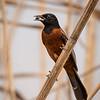 Maker:  Ricky Scroggins<br /> Title:  Orchard Oriole w/ Rock<br /> Category:  Wildlife<br /> Score:  13