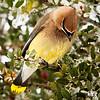 Maker:  Dwayne Anders<br /> Title:  Cedar Wax Wing - 2<br /> Category:  Wildlife<br /> Score:  12.5