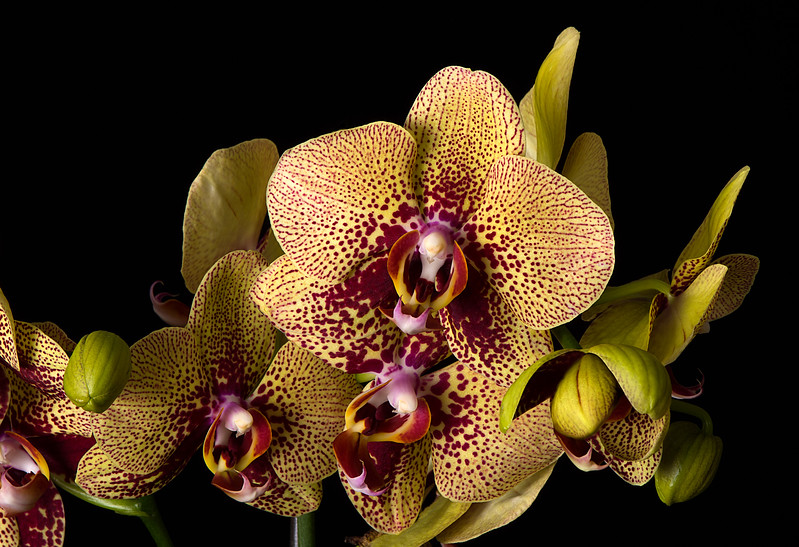 Maker:  Ronald Austin<br /> Title:  Jungle Cat Orchid<br /> Category:  Pictorial<br /> Score:  12